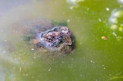 Κοινή σπάζοντας απότομα χελώνα Στοκ Εικόνες