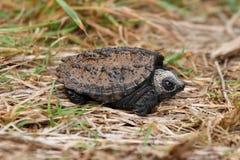 Κοινή σπάζοντας απότομα χελώνα μωρών Στοκ Φωτογραφίες
