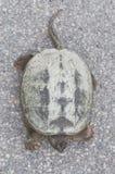 Κοινή σπάζοντας απότομα χελώνα που κάνει ηλιοθεραπεία στο συγκεκριμένο δρόμο, τοπ κινηματογράφηση σε πρώτο πλάνο άποψης Στοκ Εικόνες
