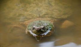 Κοινή σπάζοντας απότομα χελώνα Στοκ εικόνα με δικαίωμα ελεύθερης χρήσης
