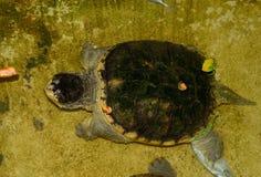 Κοινή σπάζοντας απότομα χελώνα (serpentina Chelydra) Στοκ Εικόνες