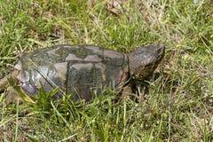 Κοινή σπάζοντας απότομα χελώνα - serpentina Chelydra Στοκ Φωτογραφία