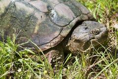 Κοινή σπάζοντας απότομα χελώνα - serpentina Chelydra Στοκ εικόνα με δικαίωμα ελεύθερης χρήσης