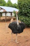 Κοινή στρουθοκάμηλος στον καμποτζιανό ζωολογικό κήπο Στοκ Εικόνες
