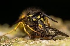 Κοινή σφήκα (Vespula vulgaris) με το θήραμα Στοκ Εικόνες
