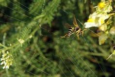 Κοινή σφήκα Vespula vulgaris Στοκ Φωτογραφία
