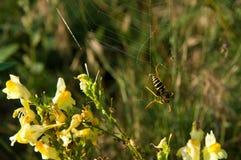 Κοινή σφήκα Vespula vulgaris Στοκ Φωτογραφίες