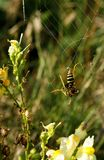 Κοινή σφήκα Vespula vulgaris Στοκ φωτογραφία με δικαίωμα ελεύθερης χρήσης