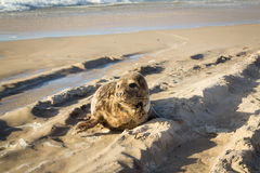 Κοινή σφραγίδα που κάνει ηλιοθεραπεία στην παραλία Στοκ Εικόνες