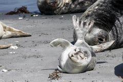 Κοινή σφραγίδα στην παραλία Στοκ Εικόνα