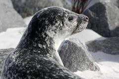 Κοινή σφραγίδα στην παραλία Στοκ εικόνες με δικαίωμα ελεύθερης χρήσης