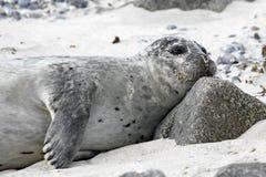 Κοινή σφραγίδα στην παραλία Στοκ Φωτογραφίες