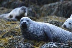 Κοινή σφραγίδα στο φύκι στη Σκωτία Στοκ φωτογραφίες με δικαίωμα ελεύθερης χρήσης