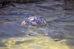 Κοινή σφραγίδα, vitulina Phoca, που κολυμπά στο σαφές νερό Στοκ φωτογραφία με δικαίωμα ελεύθερης χρήσης