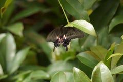 Κοινή των Μορμόνων πεταλούδα - Papilo polytes Στοκ εικόνες με δικαίωμα ελεύθερης χρήσης