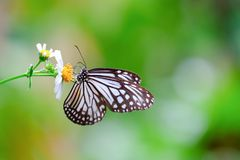 Κοινή υαλώδης πεταλούδα τιγρών κινηματογραφήσεων σε πρώτο πλάνο στοκ φωτογραφίες