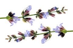 Κοινή φασκομηλιά (officinalis Salvia) Στοκ φωτογραφίες με δικαίωμα ελεύθερης χρήσης