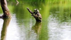 Κοινή χελώνα χαρτών απόθεμα βίντεο