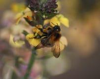Κοινή Carder μέλισσα Στοκ εικόνες με δικαίωμα ελεύθερης χρήσης
