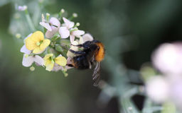 Κοινή Carder μέλισσα Στοκ εικόνα με δικαίωμα ελεύθερης χρήσης