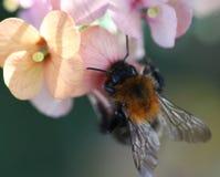 Κοινή Carder μέλισσα Στοκ Εικόνα