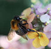 Κοινή Carder μέλισσα Στοκ Φωτογραφία