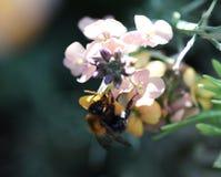 Κοινή Carder μέλισσα Στοκ φωτογραφία με δικαίωμα ελεύθερης χρήσης