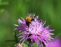 Κοινή Carder μέλισσα Στοκ Εικόνες