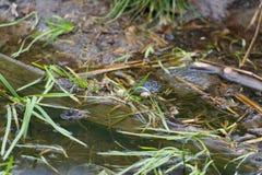 Κοινοί βάτραχοι που ζευγαρώνουν στο νερό Στοκ φωτογραφία με δικαίωμα ελεύθερης χρήσης