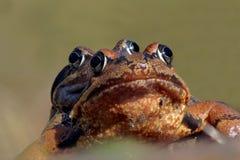 Κοινοί βάτραχοι στο ζευγάρωμα Στοκ φωτογραφίες με δικαίωμα ελεύθερης χρήσης