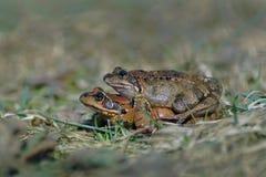 Κοινοί βάτραχοι στο ζευγάρωμα Στοκ εικόνες με δικαίωμα ελεύθερης χρήσης