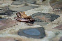 2 κοινοί βάτραχοι Στοκ Φωτογραφίες