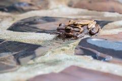Κοινοί βάτραχοι Στοκ φωτογραφία με δικαίωμα ελεύθερης χρήσης