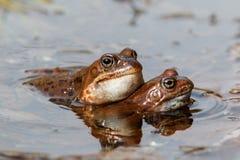 Κοινοί βάτραχοι Στοκ Εικόνα