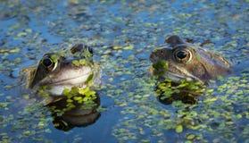 Κοινοί βάτραχοι Στοκ εικόνα με δικαίωμα ελεύθερης χρήσης