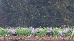 Κοινοί γερανοί ή ευρασιατική σίτιση πουλιών Grus Grus γερανών απόθεμα βίντεο