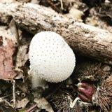 Κοινοί μύκητες puffball Στοκ Εικόνα