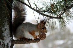 Κοινός δασικός σκίουρος στο δασικό πάρκο στοκ φωτογραφίες με δικαίωμα ελεύθερης χρήσης
