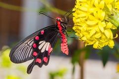 Κοινός αυξήθηκε πεταλούδα Στοκ εικόνα με δικαίωμα ελεύθερης χρήσης