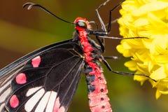 Κοινός αυξήθηκε πεταλούδα Στοκ Φωτογραφία