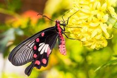 Κοινός αυξήθηκε πεταλούδα aristolochiae Pachliopta Στοκ Φωτογραφία