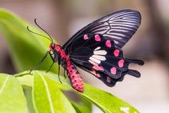 Κοινός αυξήθηκε & x28 Aristolochiae Pachliopta goniopeltis& x29  πεταλούδα στοκ φωτογραφία με δικαίωμα ελεύθερης χρήσης