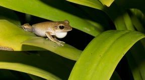 Κοινός βάτραχος δέντρων, χρυσός βάτραχος δέντρων, όμορφος βάτραχος, βάτραχος στο πράσινο φύλλο Στοκ Φωτογραφίες