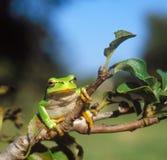 Κοινός βάτραχος δέντρων Στοκ εικόνα με δικαίωμα ελεύθερης χρήσης