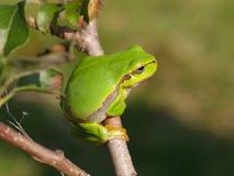 Κοινός βάτραχος δέντρων Στοκ Εικόνα