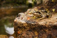 Κοινός βάτραχος σε μια προεξοχή Στοκ Εικόνα