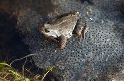 κοινός βάτραχος στοκ εικόνες με δικαίωμα ελεύθερης χρήσης