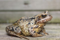 κοινός βάτραχος Στοκ φωτογραφίες με δικαίωμα ελεύθερης χρήσης