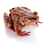 Κοινός βάτραχος. Στοκ φωτογραφίες με δικαίωμα ελεύθερης χρήσης