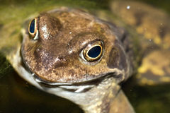 κοινός βάτραχος στοκ εικόνα